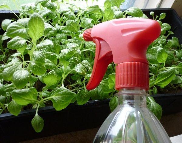 Полив ростков должен производиться через опрыскивание теплой водой