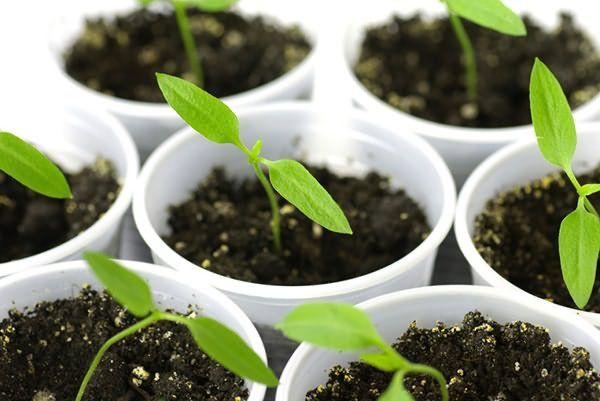Если семена были высажены в отдельные емкости, то пикирование не потребуется
