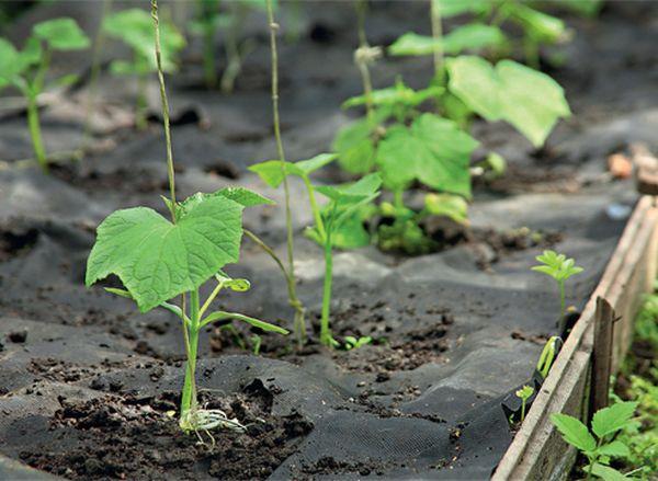 Укрытие пленкой позволяет посадить рассаду в грунт уже в середине весны