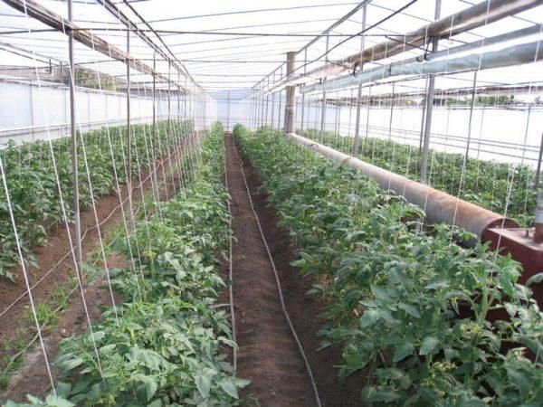 Выращивание томата Челнок в теплице круглый год