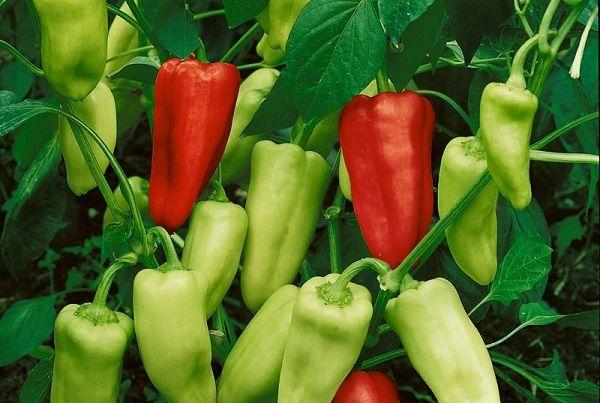 Уход за перцами в теплице сводится к минимуму