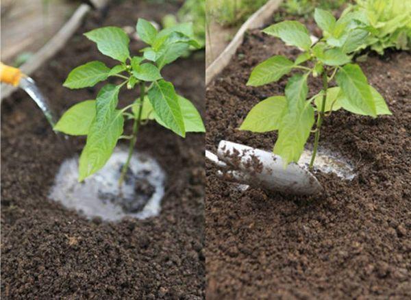 Если почва в теплице недостаточно плодородна - перец необходимо подкормить