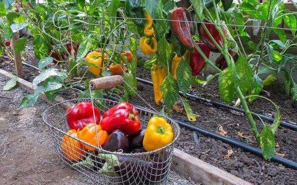 Урожай перца в теплице можно собирать до устойчивых холодов