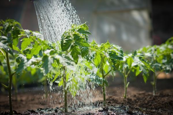 После высадки рассады в грунт, растения нужно поливать 2 раза в неделю, но со временем, полив можно сократить до одного раза в 7-10 дней