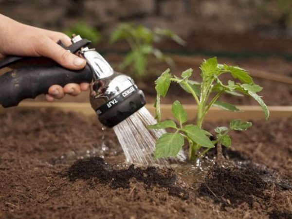 Поливать томаты нужно через 6-7 дней, в жару полив проводится чаще