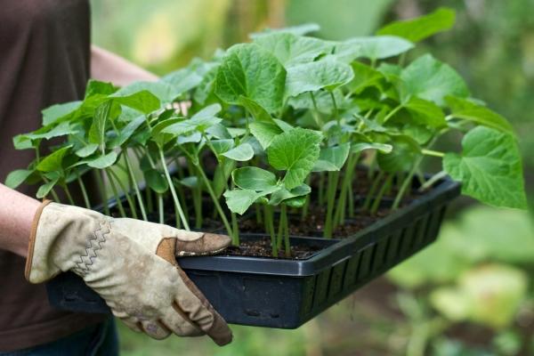 Семена на рассаду высаживают в начале мая, при формировании 2-3 настоящих листочков переносят в открытый грунт