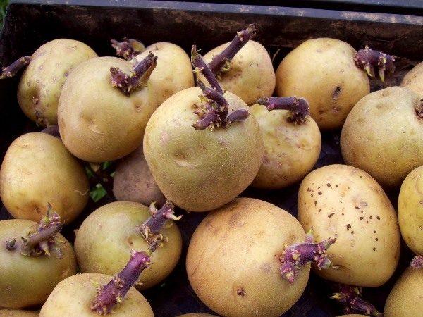 Семенной картофель для посадки