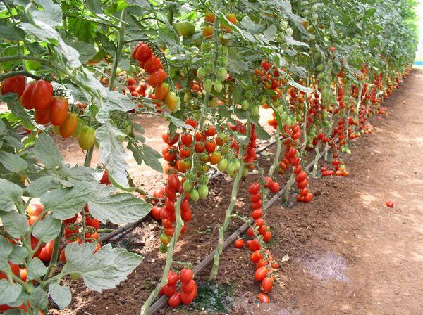 Процедура прищипывания обязательна для высокорослых сортов томатов