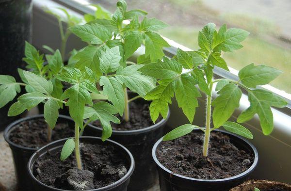 Рассаду помидор прищипывают для получения более пышного куста