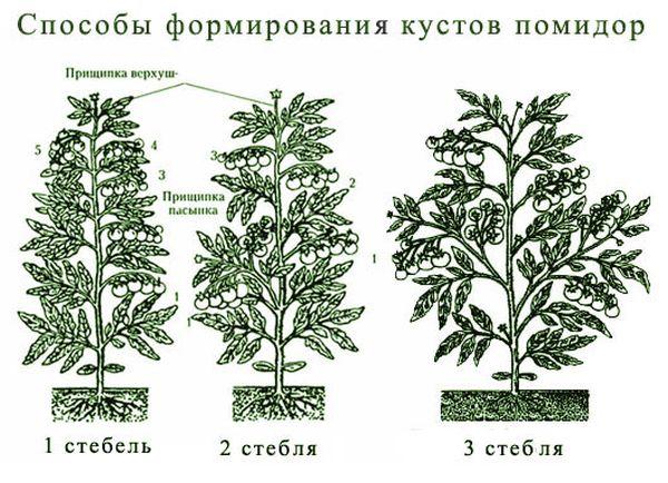 Схема формирования куста помидор