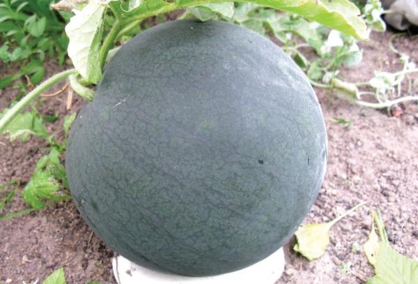 У привитых арбузов крупнее плоды, увеличивается холодостойкость