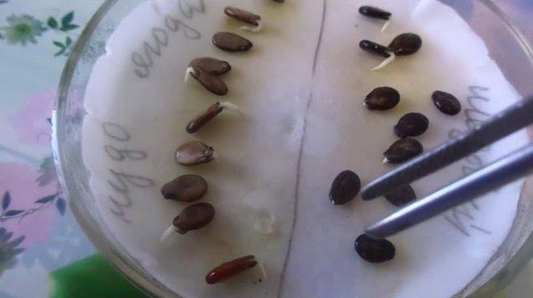 Пророщенные семена арбуза Кримсон Свит для посадки на рассаду