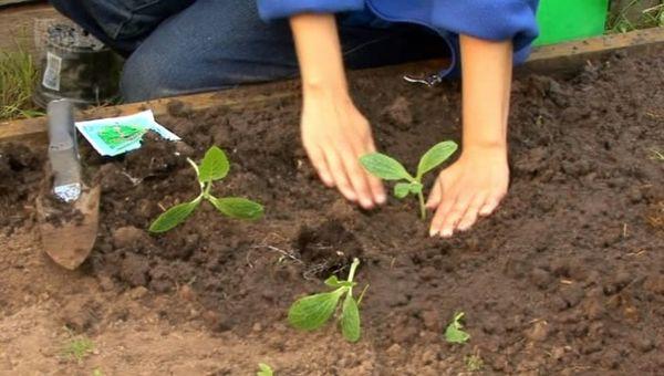 После появления 3-4 листов можно высаживать рассаду в грунт