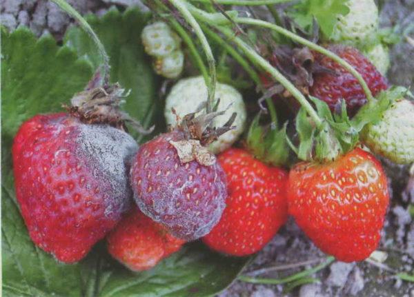 Серая плесень на ягоде