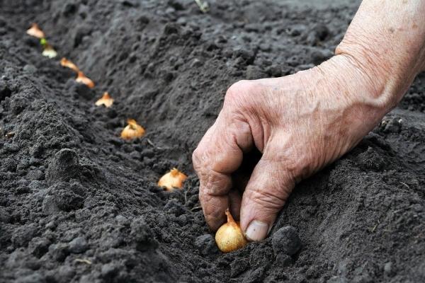 Избежать стрелкования можно, посадив лук под зиму