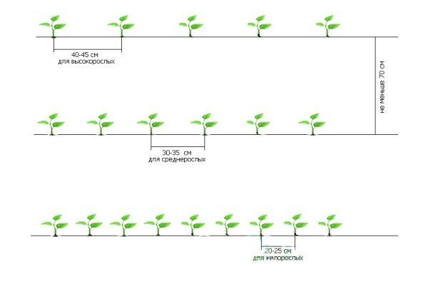Схема посадки рассады перца в открытый грунт