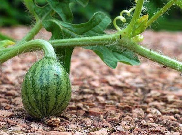 Плодоножка арбуза должна смотреть вверх