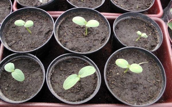 Первый листок из семени должен появиться через 3-5 дней после посадки