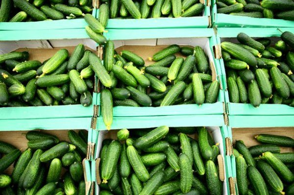 Сорт Малыш универсальный: хоть в зелёном виде, хоть в солёном