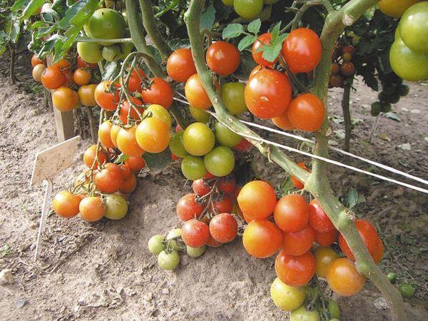 Сверхурожайность отдельных сортов сказывается на вкусе