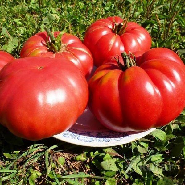 Сорт томатов 1884