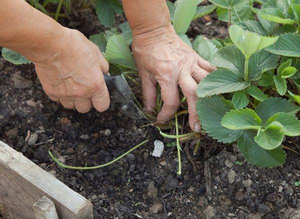 Удаление усов способствует получению более крупного урожая