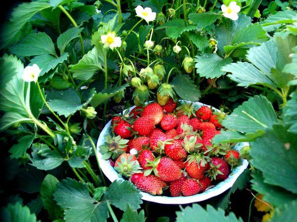Залогом хорошего урожая является правильный подбор сорта