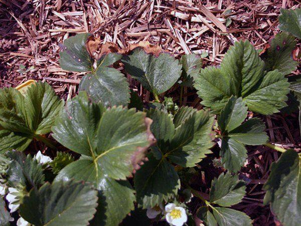 Сухие края листьев клубники свидетельствуют о не хватке бора