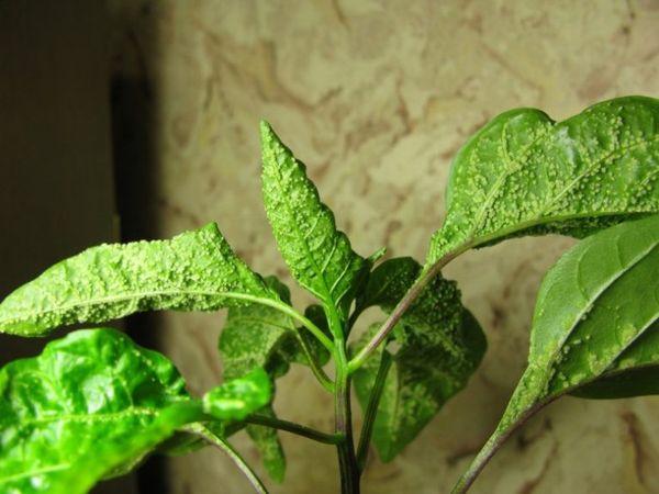 Тля - серьезная угроза рассаде и урожаю перца