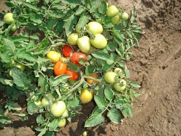 Томат Челнок имеет хорошую урожайность
