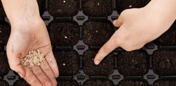 Семена на рассаду обычно высевают в конце марта на глубину 2–3 см