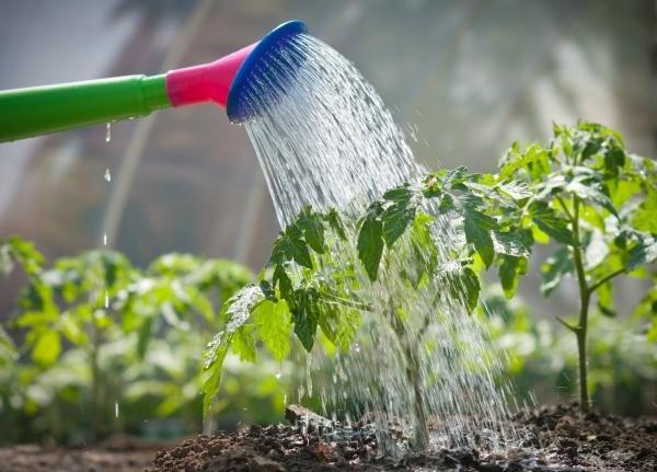 Поливают раз в неделю, подкармливают азотными и фосфорно-калийными удобрениями