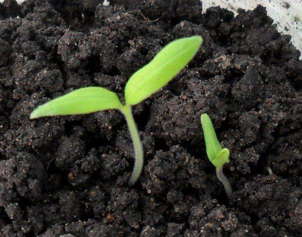 Первые всходы семян томатов Вельможа