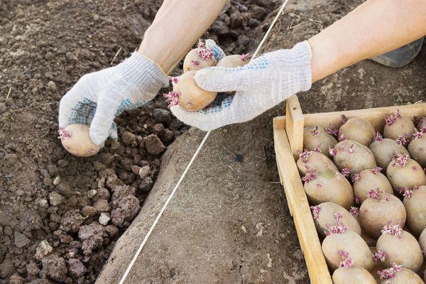 Как сажать картошку весной