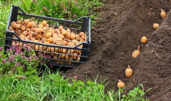 Картофель можно высаживать только когда заморозки пройдут