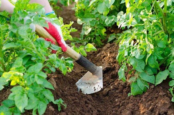 Окучивание помогает защитить корнеплод от заморозков