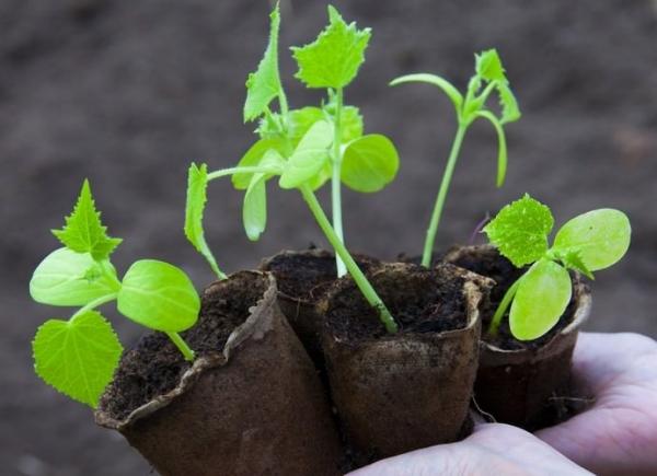 Выращивать огурцы можно как семенным, так и рассадным способом