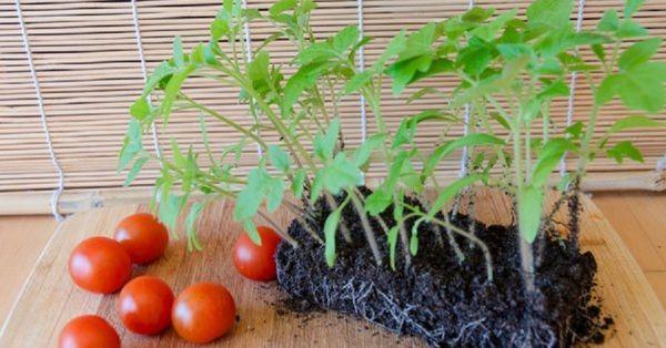 Если корням рассады тесно - томат может заболеть