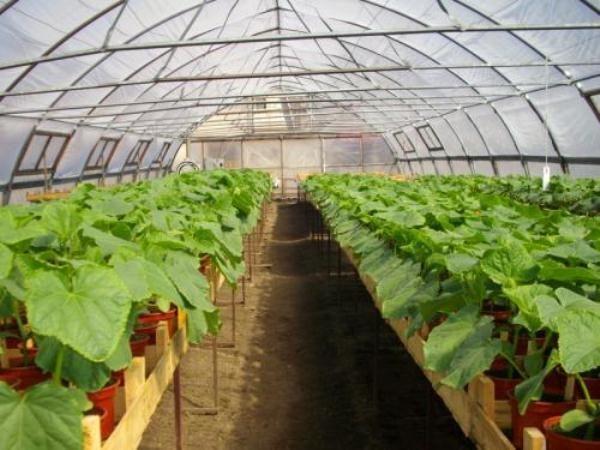 В теплице можно выращивать как компактные кустовые гибриды, так и обычные сорта кабачков