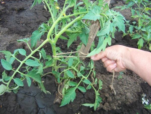 Кусты томата Розмарин высокорослые, поэтому требуют подвязки