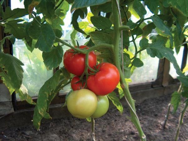 Среднепоздний сорт томатов Чудо рынка