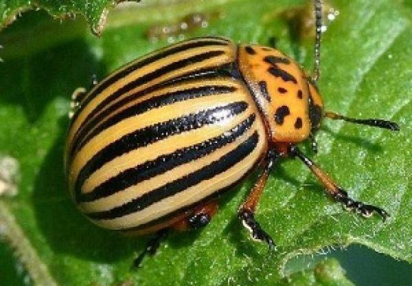 Молодые растения томата Кукла могут подвергаться нападкам колорадского жука