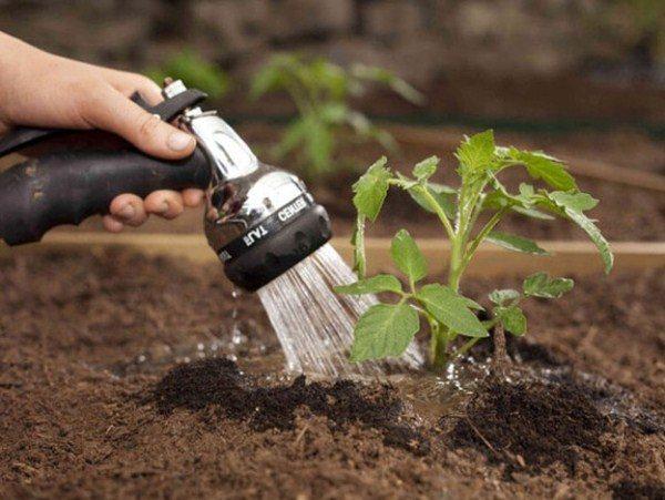 После высадки рассаду Банан следует поливать под корень