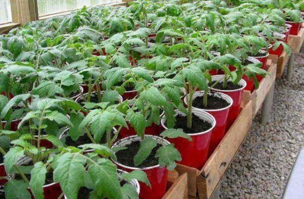 Высадку рассады помидор Рапунцель в открытый грунт проводят, когда угроза заморозков минует