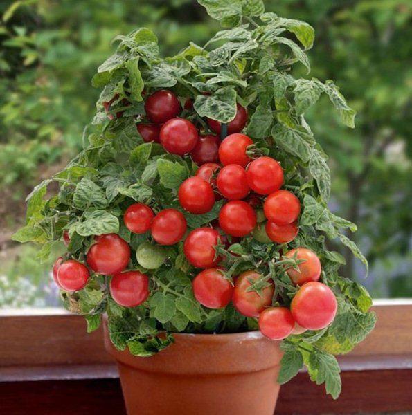 Комнатный сорт томата Бонсай