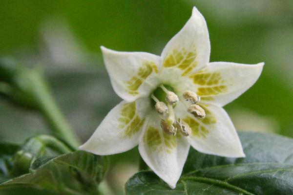 Цветок декоративного перца