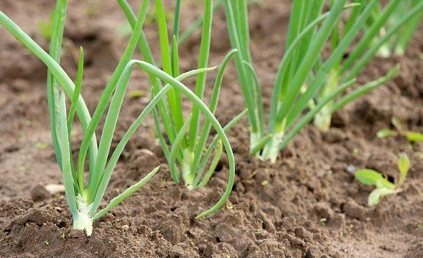 Правильный способ посадить лук репку из севка