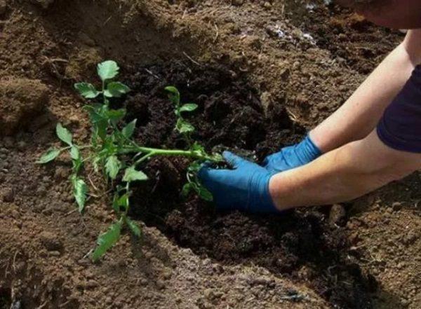 Нет необходимости сильно заглублять рассаду томата, прикорневую шейку можно заглубить не более чем на 3 см