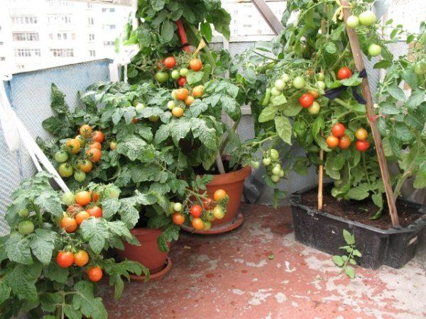 По мере роста стебли томатов подвязывают к колышкам