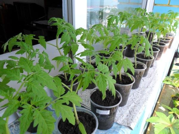 Во время выращивания рассады необходимы соответствующая температура, влажная земля и достаточное освещение